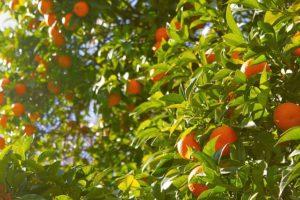 Cultivo de naranjas