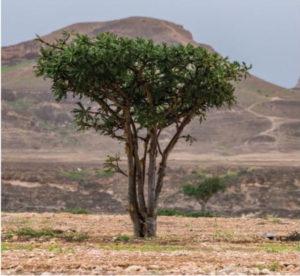 Boswellia, arbol del incienso